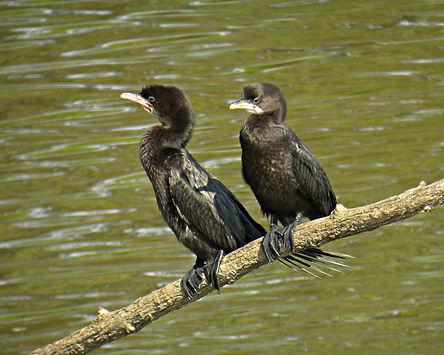pygmy cormorant phalacrocorax pygmeus slovenia