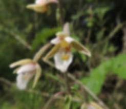 epipastis palustris slovenia