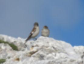 snowfinch montifringilla nivalis slovenia