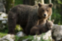 brown bear ursus arctos slovenia