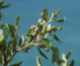 Quercus ilex slovenia
