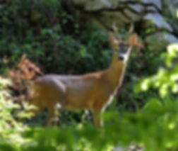 roe deer capreolus capreolus slovenia