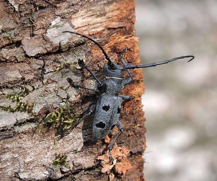 beech longhorn beetle morimus funereus slovenia