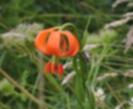 lilium carniolicum slovenia