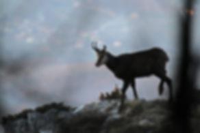 alpine chamois rupicapra rupicapra slovenia