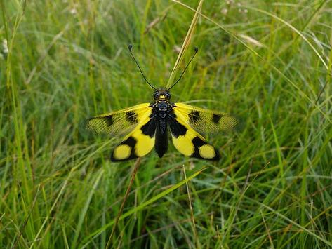 owlfly libelloides macaronius slovenia