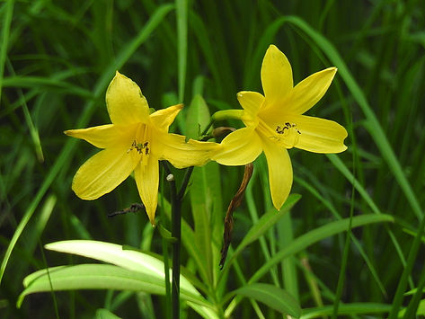 hemerocallis lilioasphodelus slovenia