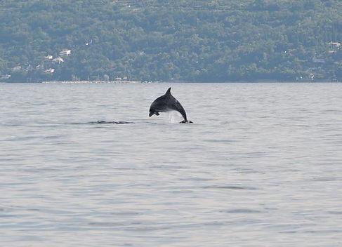 bottlenose dolphin tursiops truncatus slovenia