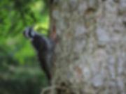 Three-toed Woodpecker Picoides tridactylus Slovenia