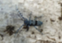 DSCN1270 Rosalia alpina.JPG
