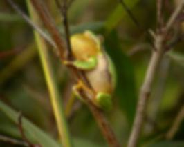tree frog hyla arborea slovenia