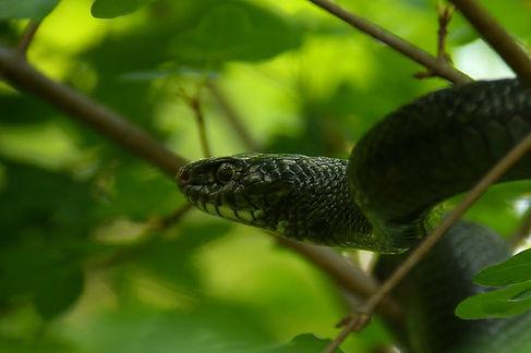 western whip snake hierophis viridiflvus slovenia