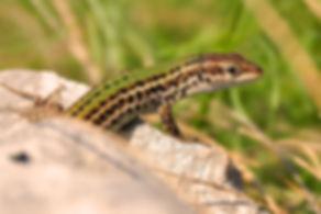 dalmatian wall lizard podarcis melisellensis slovenia