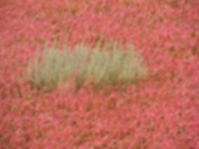 salicornia europaea slovenia