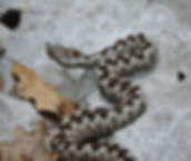 horn-nosed viper vipera ammodytes slovenia