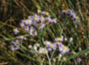 tripolium pannonicum slovenia