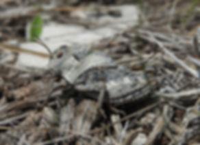 eastern ston grasshopper prionotropis hystrix