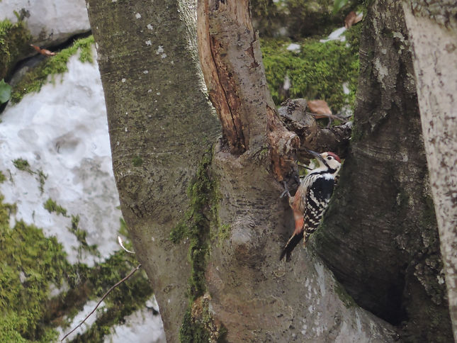 white-backed woodpecker dendrocopos leucotos slovenia