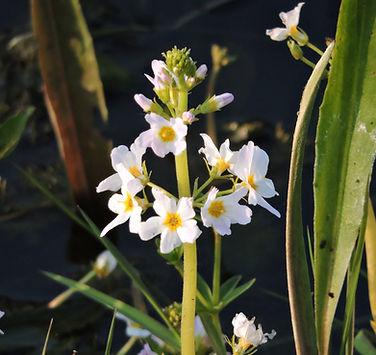 hottonia paustris slovenia