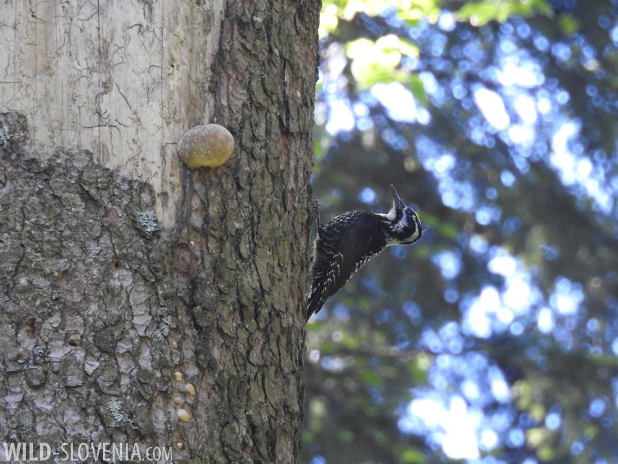 Three-toed_Woodpecker_Picoides_tridactylus