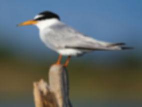 little tern sternula albifrons slovenia