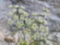 hladnikia pastinacifolia slovenia