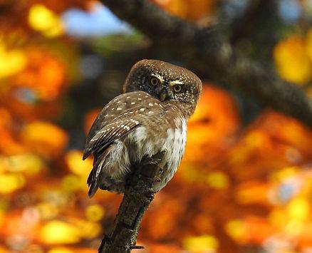 pygmy owl glaucidium passerinum slovenia