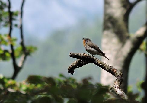 red-breasted flycatcher ficedula parva slovenia