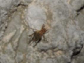 Troglophilus neglectus slovenia