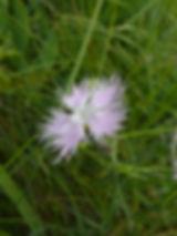 Dianthus hyssopifolius,monspessulanus slovenia
