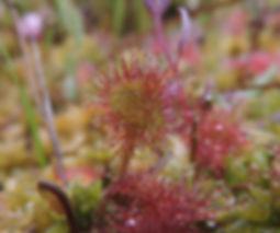 Drosera rotundifolia slovenia