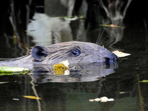 beaver castor fiber slovenia