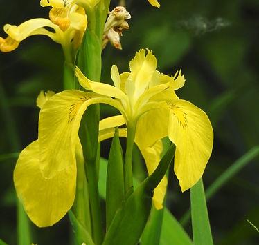 iris pseudacorus slovenia