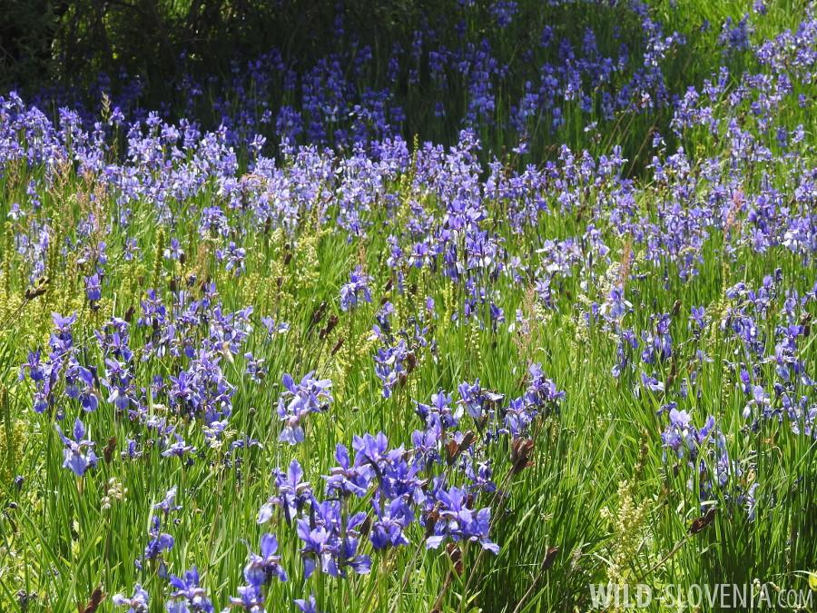 Iris_sibirica_ssp._erirrhiza
