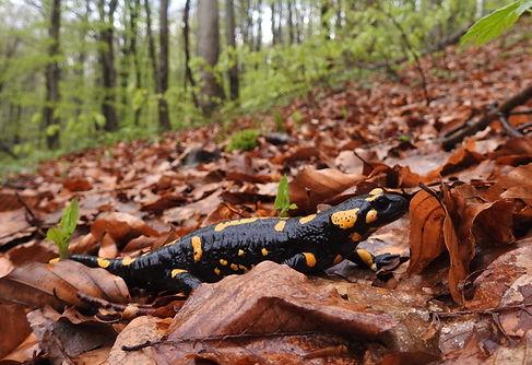DSCN5903 Salamandra salamandra.JPG