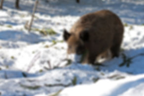 wild boar sus scrofa slovenia
