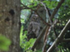 ural owl strix uralensis slovenia