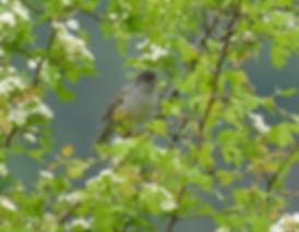 barred warbler sylvia nisoria slovenia