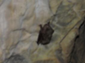 common bentwing bat miniopterus schreibersii slovenia