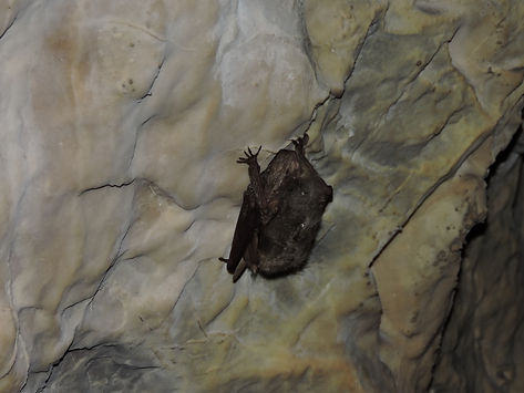 common bentwing bat miniopterus schreibersii slovenia