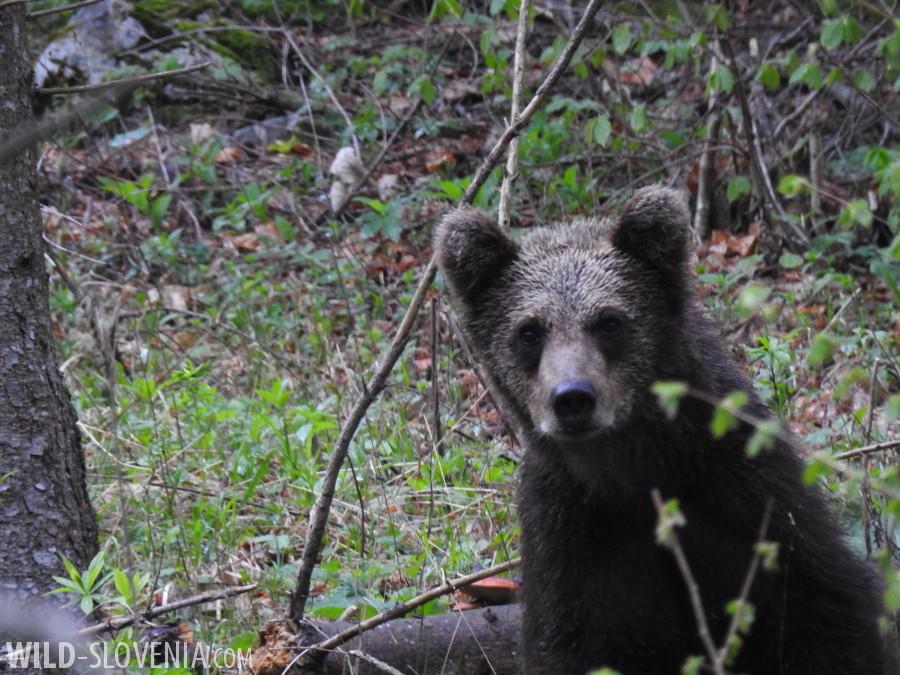 Brown_Bear_Ursus_arctos