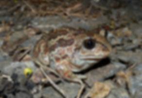 common spadefoot pelobates fuscus slovenia