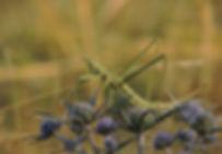 predatory bush cricket saga pedo slovenia