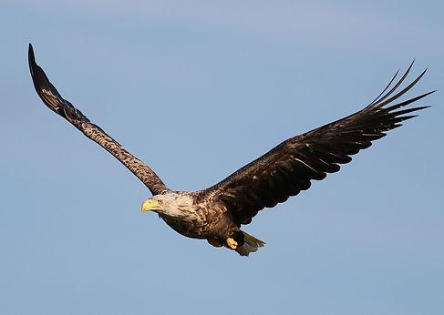 white-tailed eagle haliaeetus albicilla slovenia