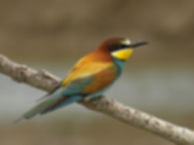 bee-eater merops apiaster slovenia