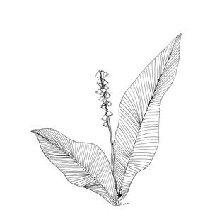 Kielo (Lily of the Valley)