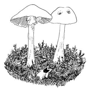Valkokärpässieni (Destroying angel mushroom)