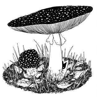 Punakärpässieni (Fly agaric mushroom)