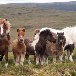 Describe Shetland Ponies in 3 words...... hardy, cute, iconic?