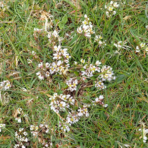 Wild about May 'flooers' in Shetland